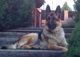 un perro pastor alemán