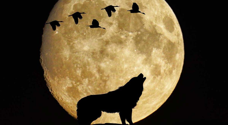 Un lobo aullando delante de una luna gigante