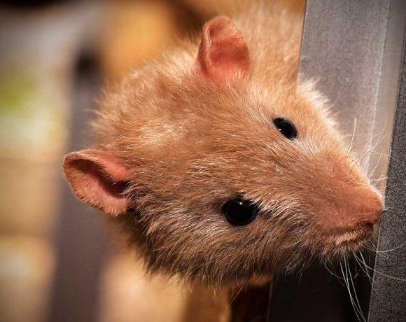 Una rata se asoma