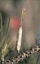 Procesionaria Fig07