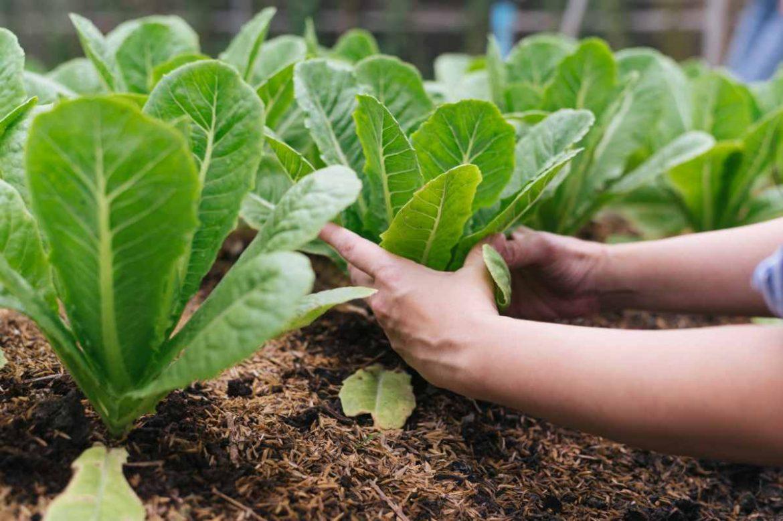 Unas manos trabajan en un huerto con plantas