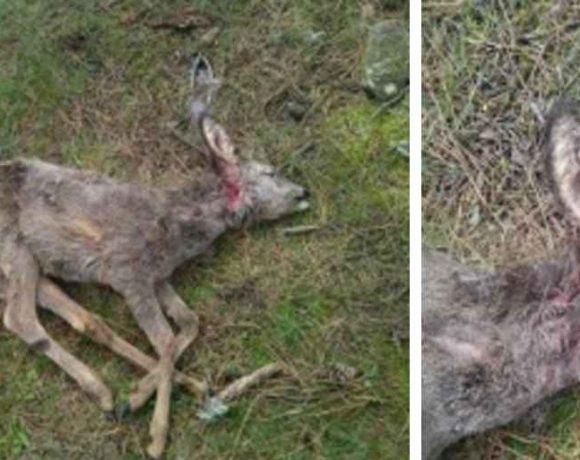 cadáver de un corzo con heridas de perro